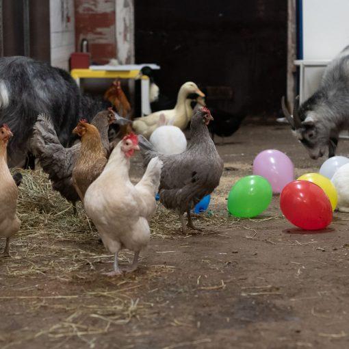 Kanat, puput, ankat ja vuohet tallin käytävällä ilmapallojen seassa