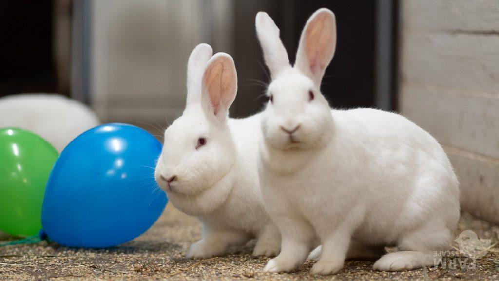 Kaksi valkoista pupua tallin käytävällä ilmapallojen kanssa. Eläinpakopeli on käynnissä!